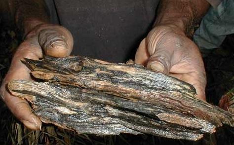 Trädet Agarwood angripet av svampen; resultatet, oud