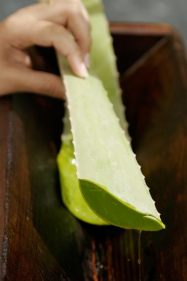 Aloe Vera är en gamma nyttoväxt som använts i årtusende. Här en kvist aloe vera från Aruba. Foto: Agneta Elmegård