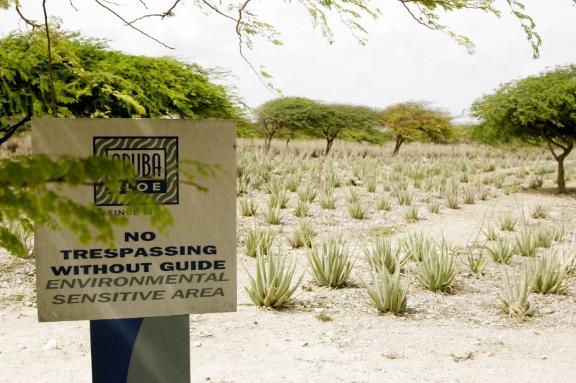 Aloe vera-odling på Aruba. De största odlingarna finns i Arizona, USA.
