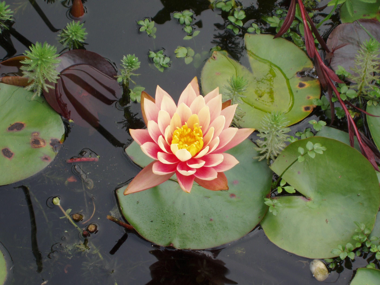 Lotusblomma är doften som Blondinbella fastnat för och använder i sina produkter Foto: Fotoolia