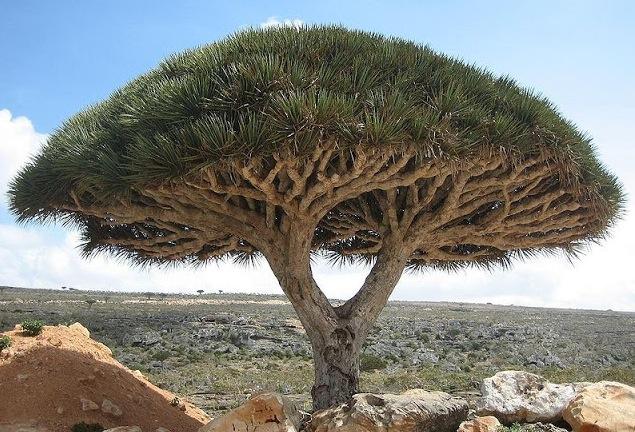 Frakbloodsträdet har röd kåda som mals ner och läggs i mediciner och hudvård. Bild: wikipedia.
