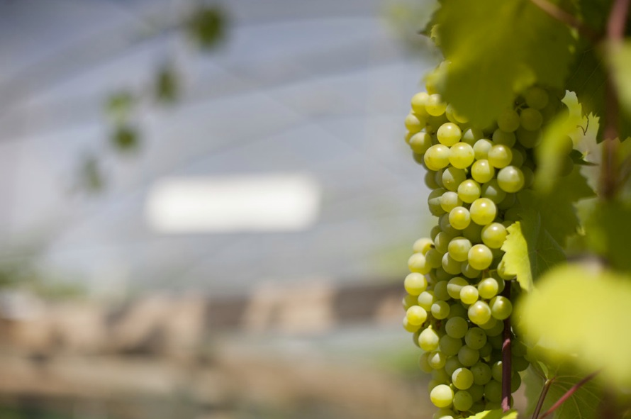 Vindruvor innehåller mycket nyttigheter både för kropp och hud.