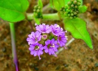 Vacker blomma med kraftfull rot. Boerhavia diffusa. Bild från Keystone foundation