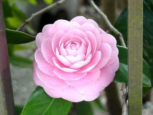 Det finns vita, rosa och röda cameliablommor ur släktet Camellia Japonica. Vissa förväxlar den med grönt te blomman men den heter Camellia Sensis och används i kinesiska produkter.