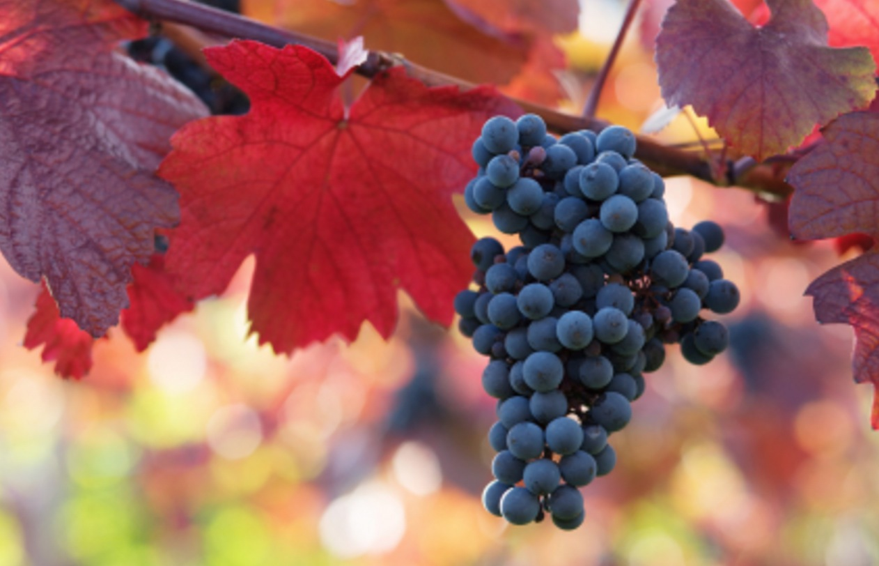 Merlotdruvan innehåller mest resveratrol av alla druvsorter. Det finns även resveratrol i blåbär.