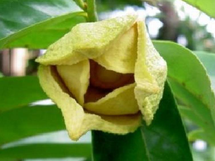 Cupuaçu innehåller många nttiga fettsyror och är en relativt ny supernöt som vi lär höra mer om framöver