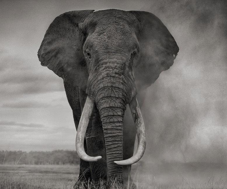 Nick Brandts fantastiska foton på elefanter visa dessa kraftfulla djur som måste sätta livet till för sina betars skull.