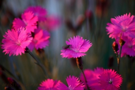 Dianthusblomma, nejlika på svenska, är huvudingrediensen i Wonderlust