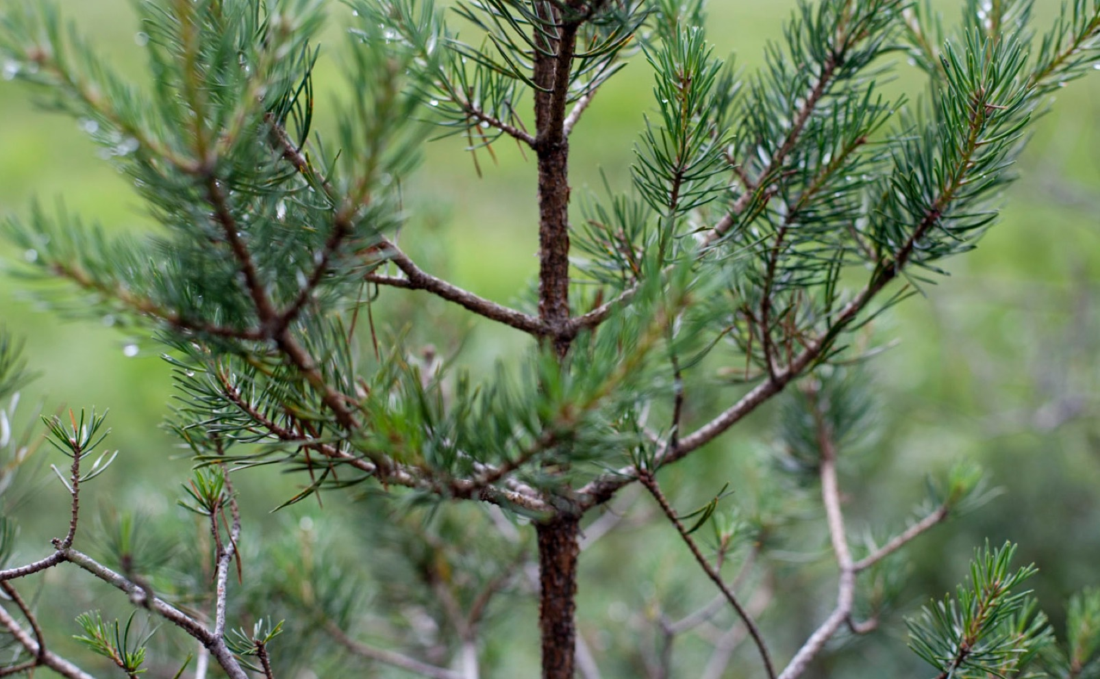 Tallbarsbark innehåller kraftfulla antioxidanter som ingår i Sisu -serien