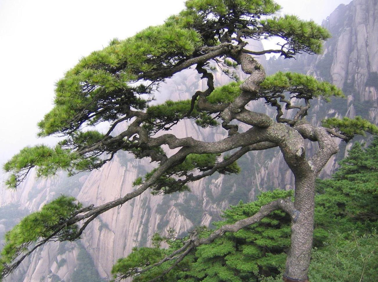 Schweizisk pinjeträd, Pinus densiflora, växer på hög höjd i Schweiz.