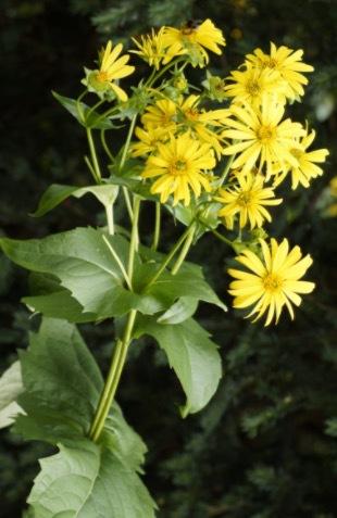 Silphium perfoliatum är en släkting till den nu utdöda örten