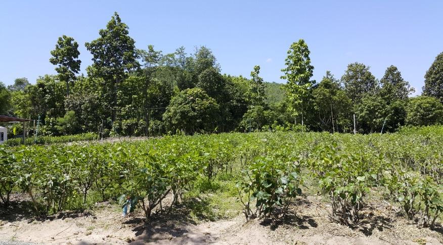 Mullbärsoldlingen i Chiang May, Thailand där Miqura oldlar de unika silkeskokongerna