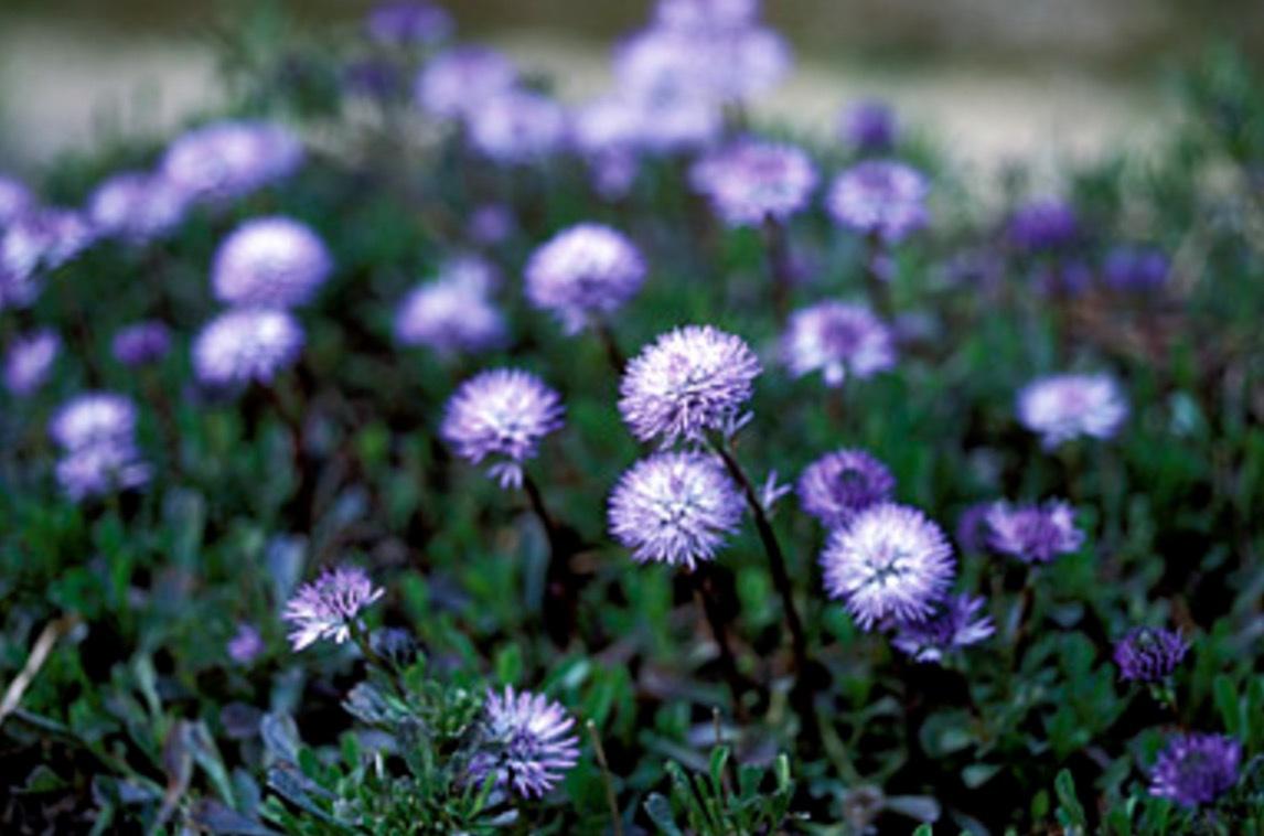 Globularia Cordifolia, Kallas också för Globe Daisy (Beauty!!) och är släkt med groblad. Och de vet man ju hur livsbeständiga de är. De kan tilloch med spräcka asfalt!