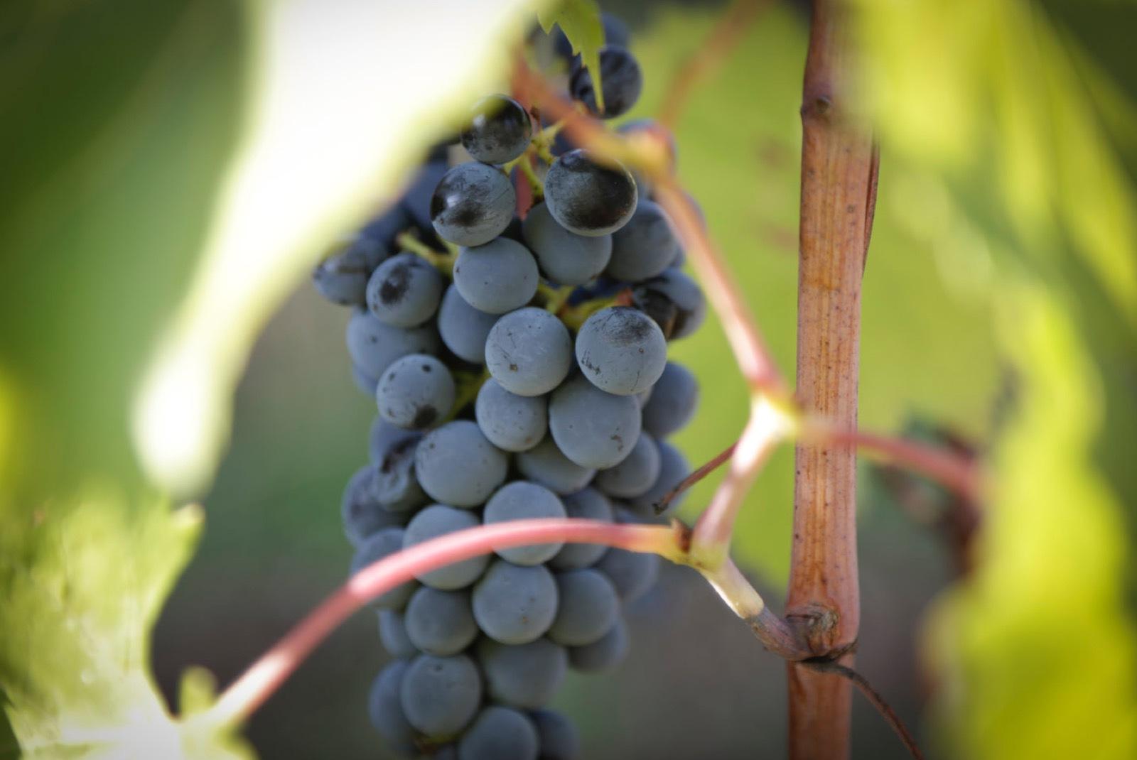 Vindruvor innehåller mycket av polyfenolen resveratrol som i studier visat sig vara antiinflammatoriskt. Foto: Agneta Elmegård