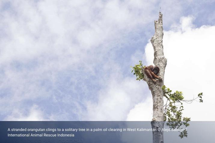 100 000 orangutanger har dött på grund av skövlingar de senaste 16 åren. Bild lånad från Greenpeace.