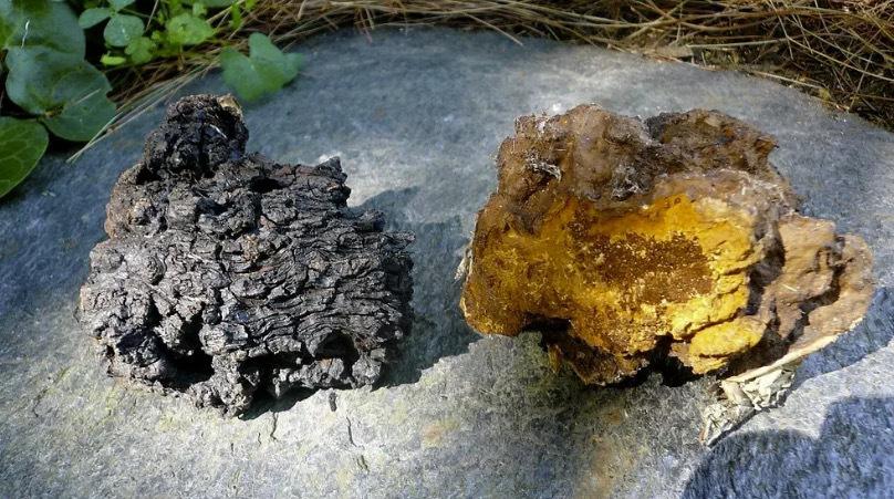Chaga är en parasitsvamp som ofta förekommer på björkar. Man måste fråga skogsägare innan man kommer på tanken att ta bort svampen från trädet. Bild från SVT